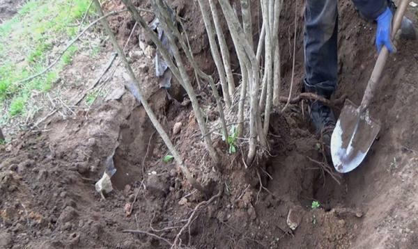 Как посадить рябину саженцем