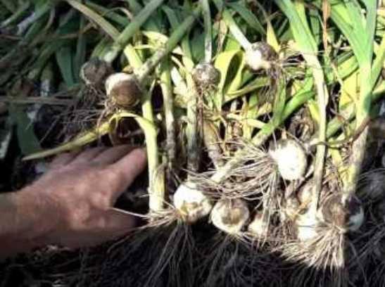 Чеснок лук посадка и уход в открытом грунте