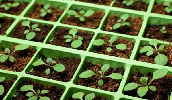 Выращивание петунии в теплице из семян 6519