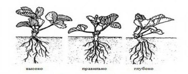 Посадка клубники весной в открытый грунт расстояние между кустами