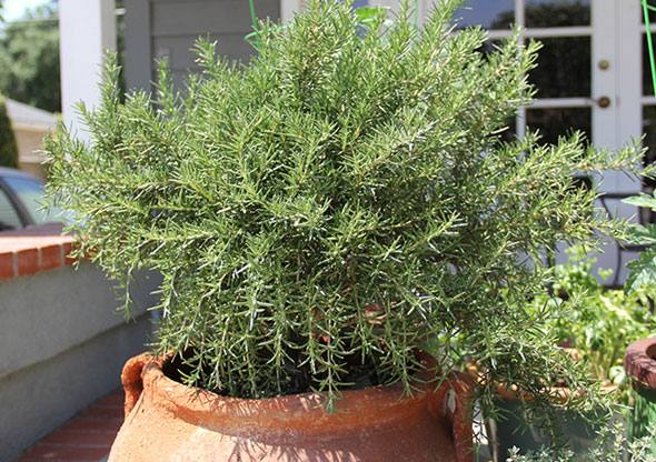 Так как данная приправа теплолюбивое растение, то она прекрасно может расти в открытом грунте в крыму и краснодаре, где хороший, теплый климат и подходящая влажность воздуха.